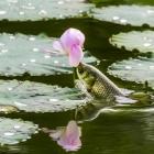草鱼吃荷花