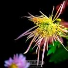 人民公园的菊花