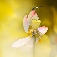 蜻蜓,荷花