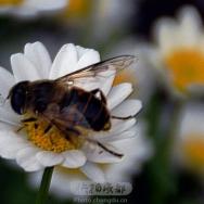 勤劳的蜜蜂