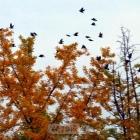 银杏与飞鸟