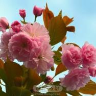 樱花(11)