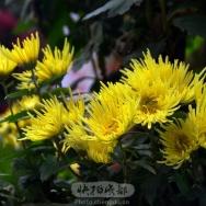小黃菊绽放