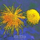 菊花绽放—彩色素描