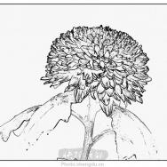 菊花—素描