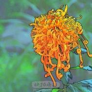 秋菊—彩色素...