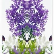 蓝花楹盛开