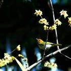 腊梅·小鸟