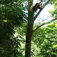 大熊猫爬树
