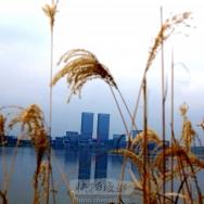 湖边的芦苇花...