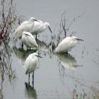 白鹭喜爱的浅水区