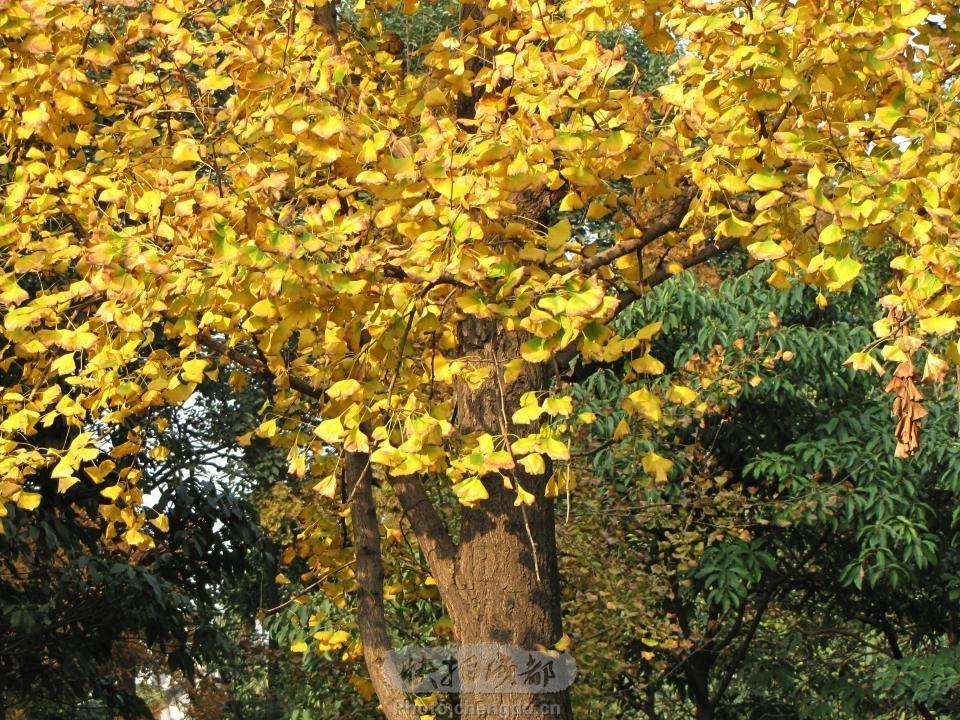 美丽的银杏树