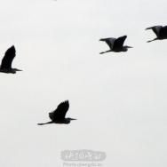 高飞的苍鹭