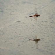 飞舞的蜻蜓