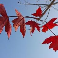 阳光下的红叶...