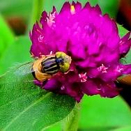不知名的蜂