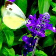 蓝花鼠尾草