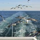 海鸥伴我渡海峡