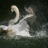 春水浴天鹅