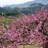 龙泉山上赏桃...