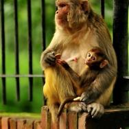 尼泊尔猴子